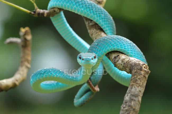 Vue rapprochée du serpent à vipère bleue sur une branche, arrière-plan flou — Photo de stock