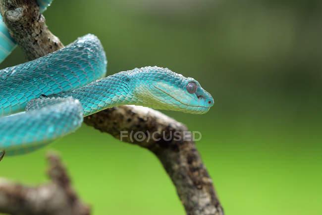 Serpente vipera blu su un ramo, fuoco selettivo — Foto stock
