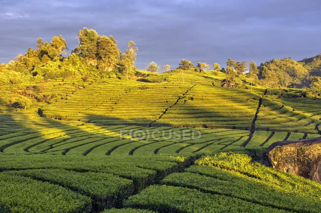 Scenic view of Tea Plantation, Ciwidey, West Java, Indonesia — Stock Photo