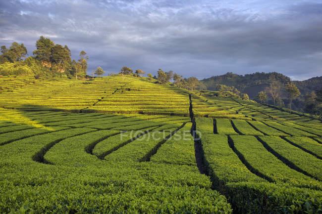 Scenic view of Tea Plantation, Ciwidey, Bandung, West Java, Indonesia — Stock Photo