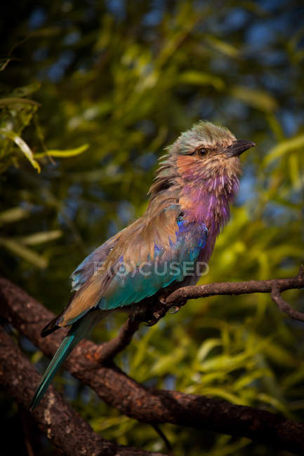 Lilac Breasted Roller bird on branch, contra fundo desfocado — Fotografia de Stock