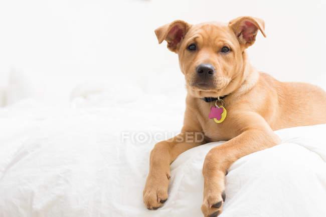 Cão de cachorrinho da mistura do terrier de Labrador que encontra-se na cama — Fotografia de Stock