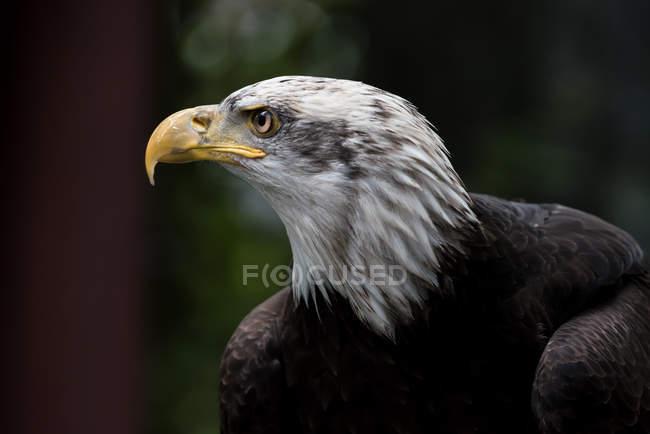 Perfil de un águila calva con fondo borroso - foto de stock