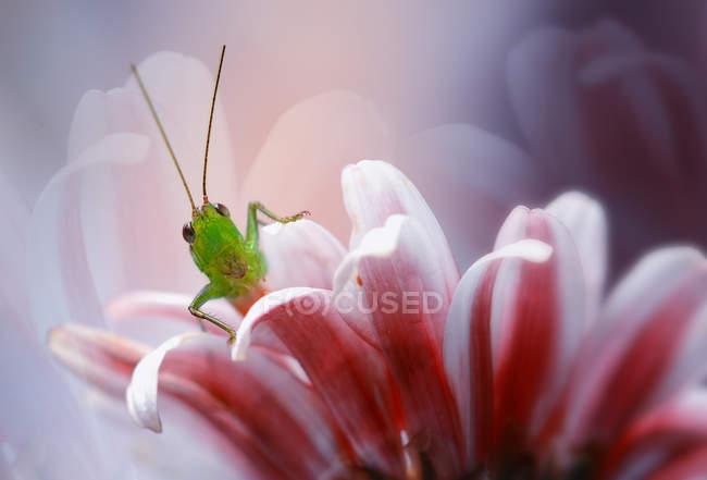 Vue rapprochée de Sauterelle sur une fleur, fond flou — Photo de stock