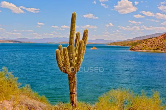 Cacto Saguaro por Theodore Roosevelt Lago, Arizona, Estados Unidos da América, América — Fotografia de Stock
