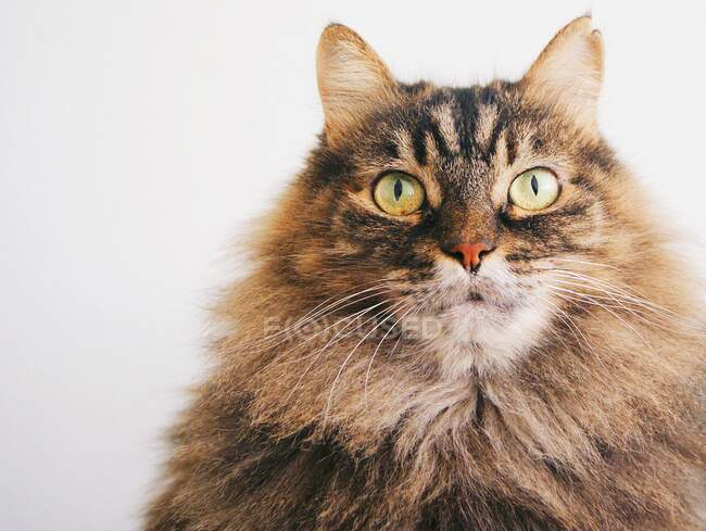 Portrait of an angora cat — Stock Photo