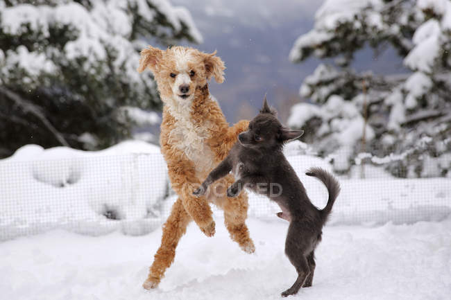 Chiens caniches et chihuahuas jouant dans la neige — Photo de stock