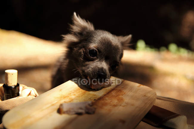 Chihuahua dog stealing food from a wooden board in park — Stock Photo