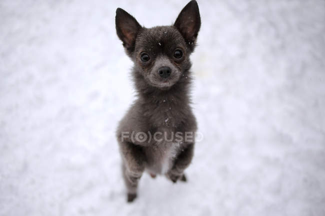 Portrait of a Chihuahua dog standing in snow begging — Stock Photo