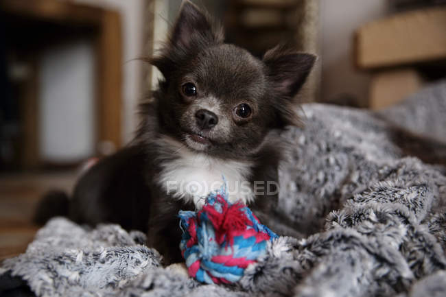 Cute Chihuahua dog with soft toy, closeup view — Stock Photo