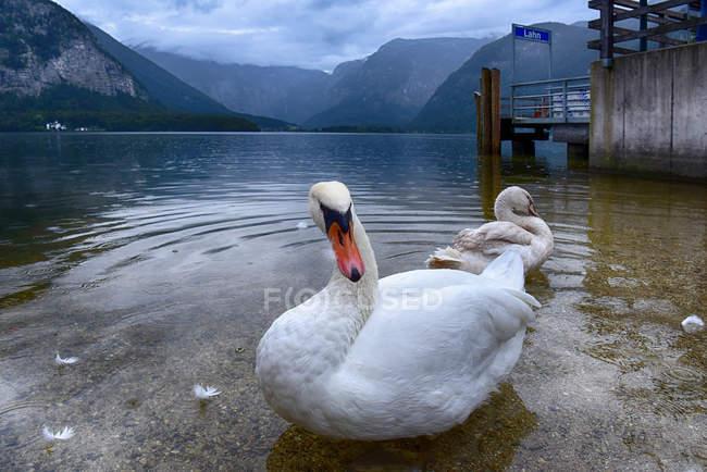 Гарний білий лебеді, на озеро, Гальштат, Гмунден, Австрія — стокове фото