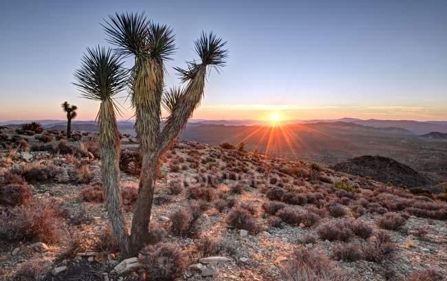 Malerischer Blick auf den Sonnenaufgang des Joshua-Baumes auf dem Ryan-Berg, Kalifornien, Amerika, USA — Stockfoto