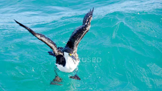 Австралійська строката пташка в морській воді з блакитною водою — стокове фото