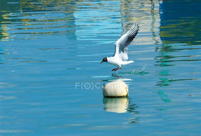 Side view of Seagull landing on blue sea — Stock Photo
