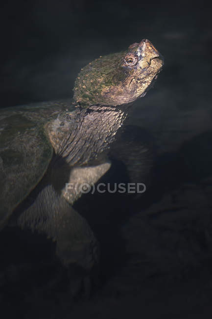 Tartaruga a scatto comune in acqua, messa a fuoco selettiva — Foto stock
