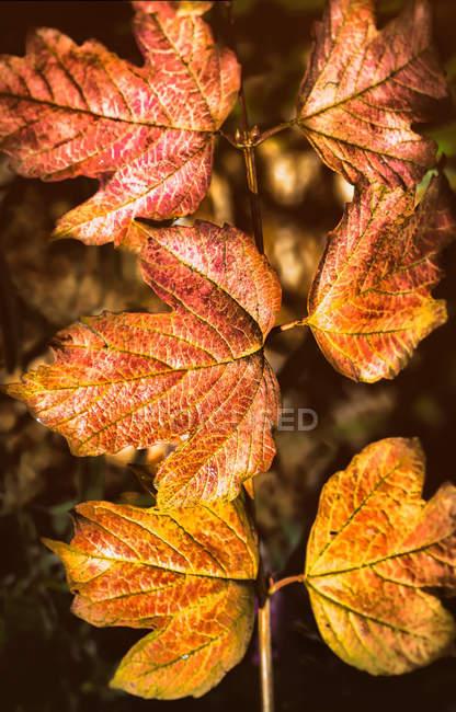 Autumn leaves in a vineyard, Kalamunda, Western Australia, Australia — Stock Photo