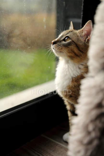 Katze schaut aus dem Fenster, Nahaufnahme — Stockfoto