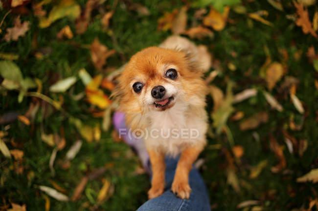 Chihuahua chien debout sur ses pattes arrière mendiant — Photo de stock