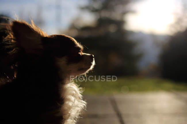 Portrait of a cute Chihuahua dog in sunlight — Stock Photo