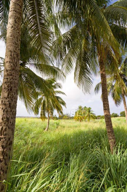 Живописный вид на поле с кокосовыми пальмами, Барбадос — стоковое фото