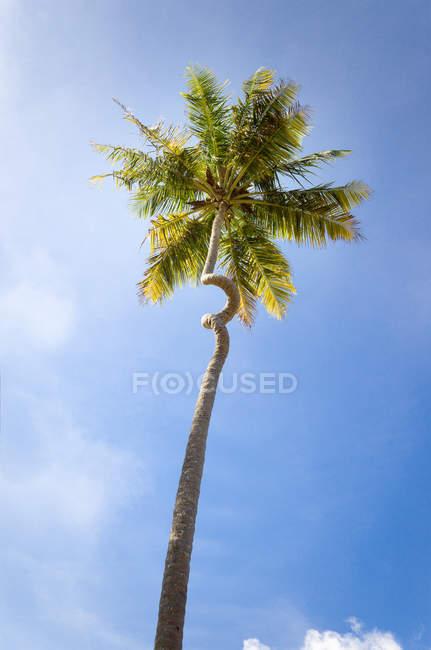 Живописный вид на пальму с изогнутым стволом, Барбадос — стоковое фото
