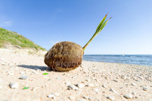Vue rapprochée de la noix de coco sur la plage, Barbade — Photo de stock