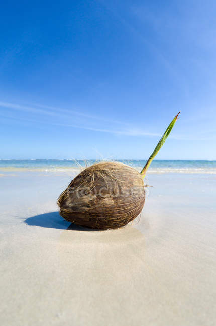 Closeup view of coconut on the beach, Barbados — Stock Photo