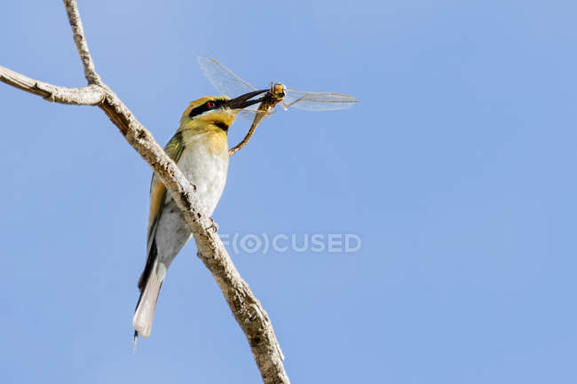 Bee eater bird with an insect in its beak — Stock Photo