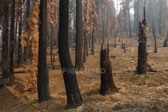 Parc National de Kings Canyon après un forest fire, Hume, en Californie, Amérique, Etats-Unis — Photo de stock