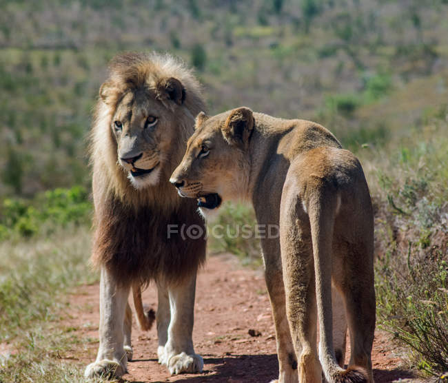 Cute Lion and Lioness at wild life — Foto stock