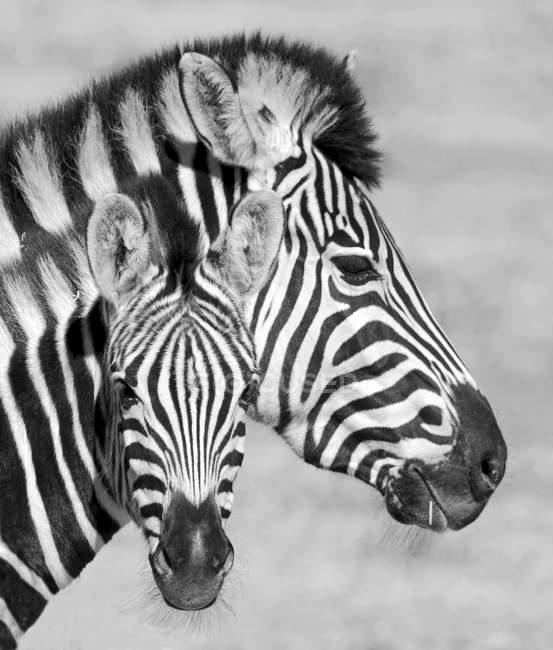 Кобила зебри з зеброю (Західний Кейп, ПАР). — стокове фото
