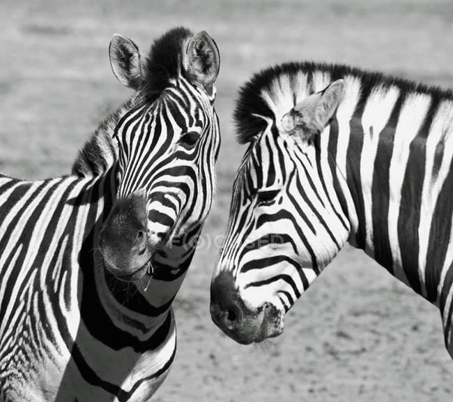 Closeup view of Two zebras, Western Cape, Afrique du Sud — Photo de stock
