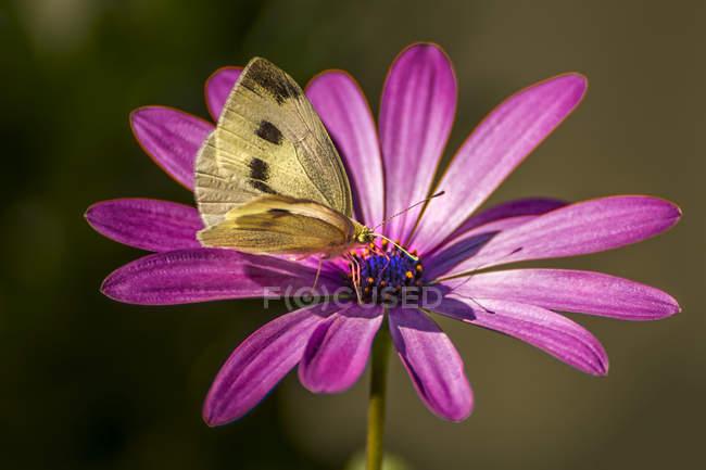 Vista close-up de borboleta em uma margarida roxa — Fotografia de Stock