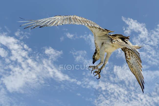 Західна Скопа птах літати в небі — стокове фото