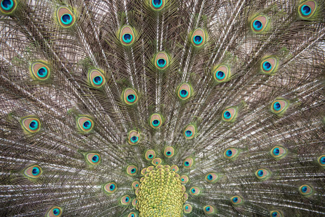 Closeup view of Portrait of a peacock tail — Photo de stock