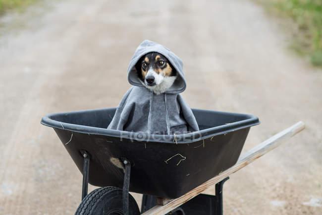 Dog wearing a grey sweatshirt sitting in a wheelbarrow — Stock Photo