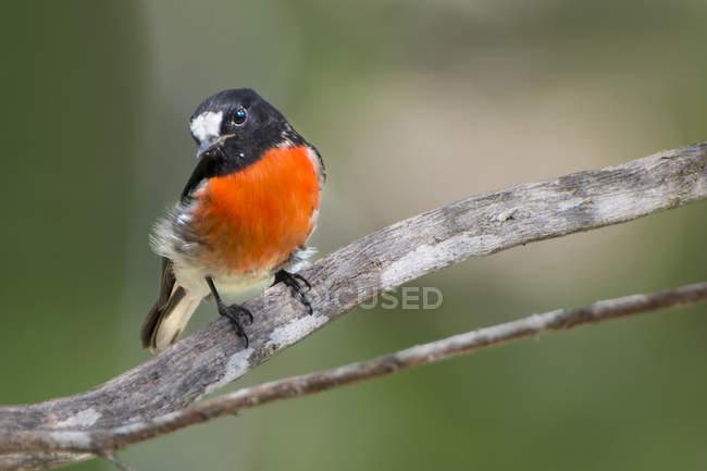 Robin écarlate perché sur une branche sur fond flou — Photo de stock