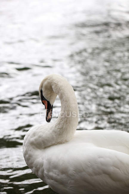 Closeup view portrait of a white swan in lake — Stock Photo