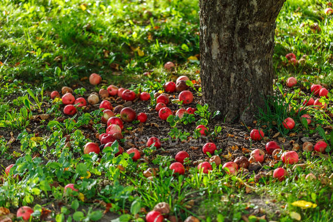 Fresh ripe apples under a tree in garden — Stock Photo