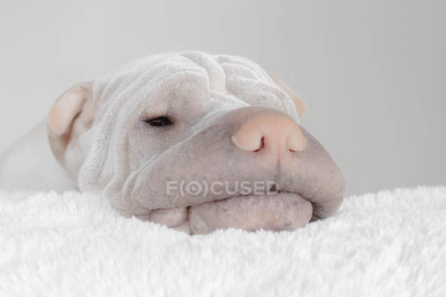 Shar pei dog resting his head on a rug — Stock Photo