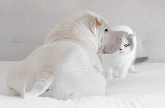 Chat britannique de shorthair et crabot de shar pei s'asseyant sur un lit — Photo de stock