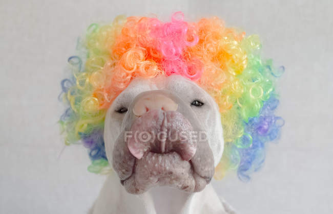 Shar pei dog wearing a multi-colored curly hair wig and licking his lips — Stock Photo