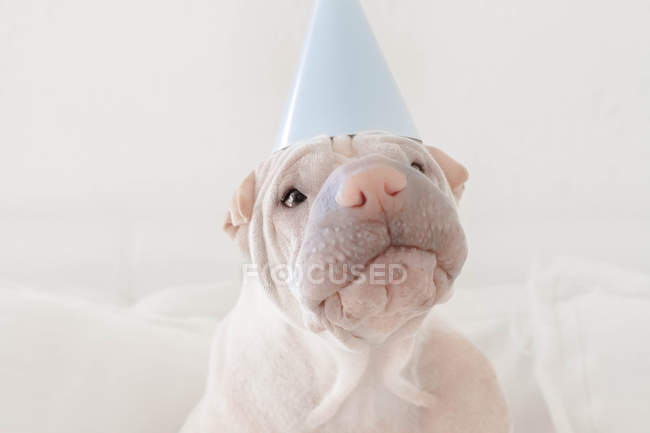 Shar pei dog wearing party hat, closeup view — Stock Photo