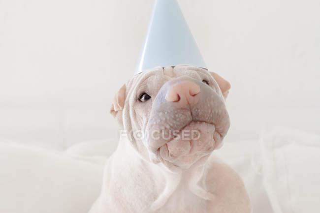 Шар-пей собака носить шляпу партии, крупным планом зрения — стоковое фото