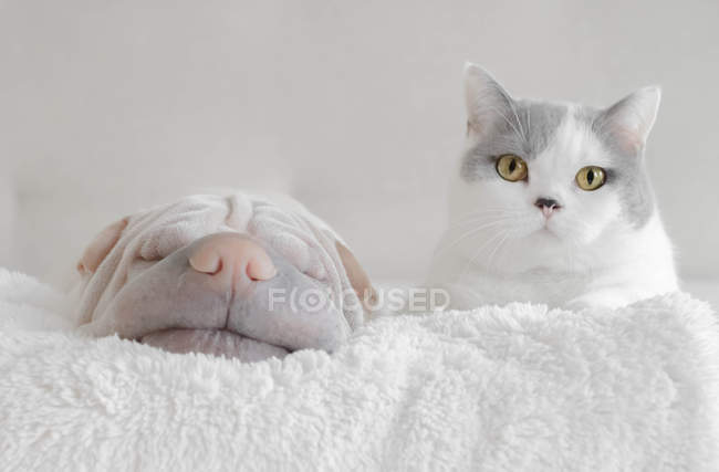 British shorthair Cat and shar pei dog lying on a blanket — Stock Photo