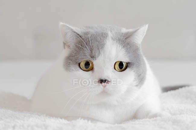 Retrato de um gato britânico do Shorthair, opinião do close up — Fotografia de Stock