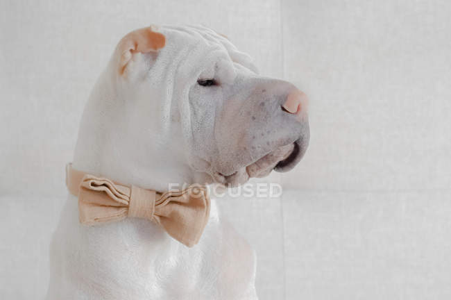 Shar pei dog wearing a bow tie, closeup view — Stock Photo