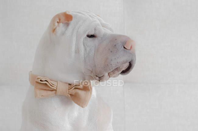 Cão de Shar Pei que desgasta um laço de curva, opinião do close up — Fotografia de Stock