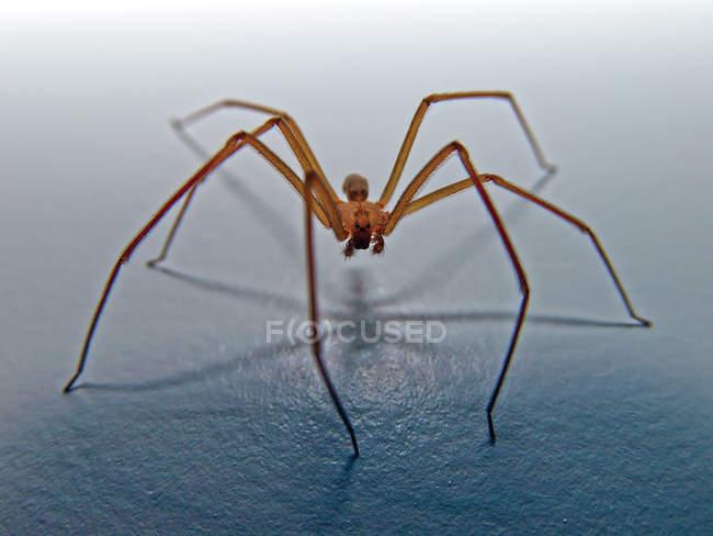 Brown recluse spider, closeup vista — Fotografia de Stock