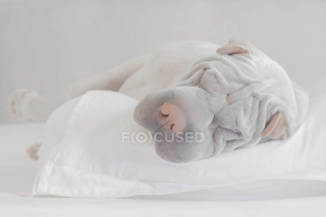 Shar-pei dog sleeping on a pillow, closeup view — Stock Photo